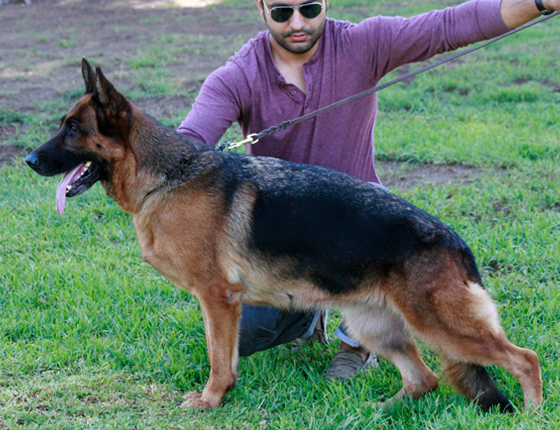German Shepherd Breeders Virginia, german shepherd puppies for sale, German Shepherds for sale Virginia