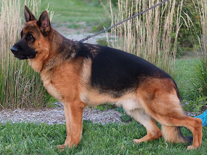 German Shepherd Breeders Michigan, german shepherd puppies for sale Michigan, German Shepherd stud, Odie von Nummer Eins