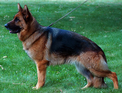 German Shepherd Breeders Michigan, german shepherd puppies for sale, German Shepherds for sale Michigan